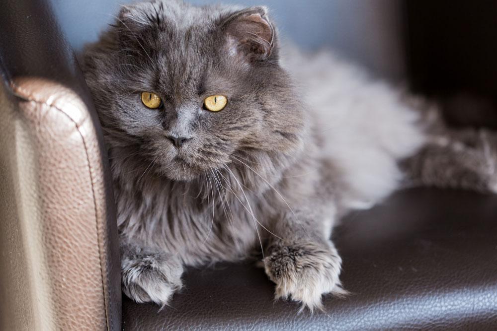 Katze Langhaar