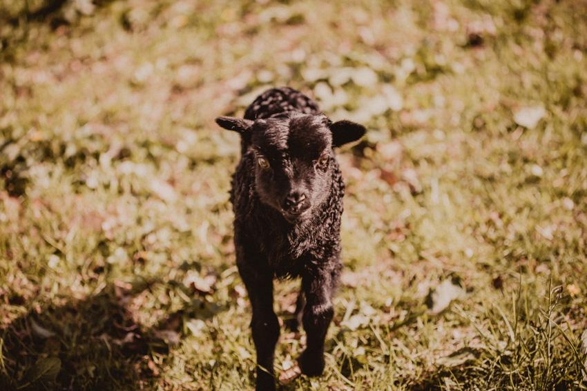 Schwarzes Lamm, zwei Wochen altes Flaschenlamm